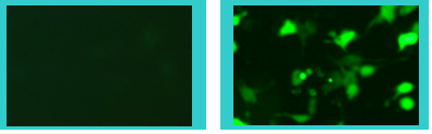 Inducible-GFP-sample