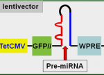 miRNA expression lentivector map
