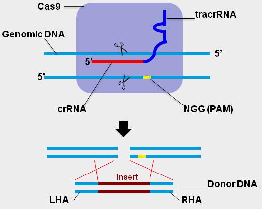CRISPR-scheme1