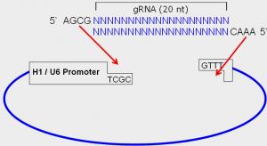 gRNA-cloning1