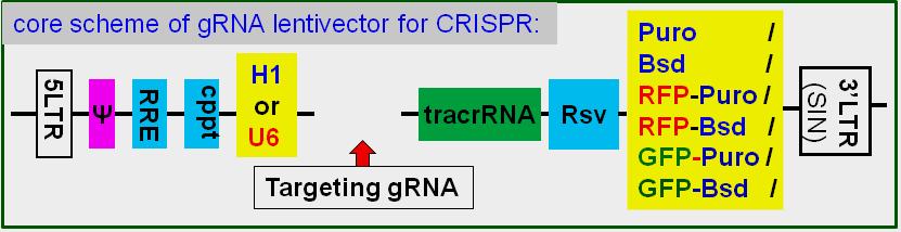 gRNA-cloning2