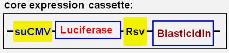 CMV-Luc(Bsd)
