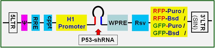 siRNA-P53
