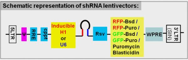 knockdown shRNA lentivector map