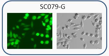 MIA PaCa-2 / GFP Cell line