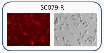 Human MIA PaCa-2 RFP Cell line image