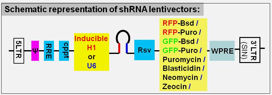 shRNA lentivector maps
