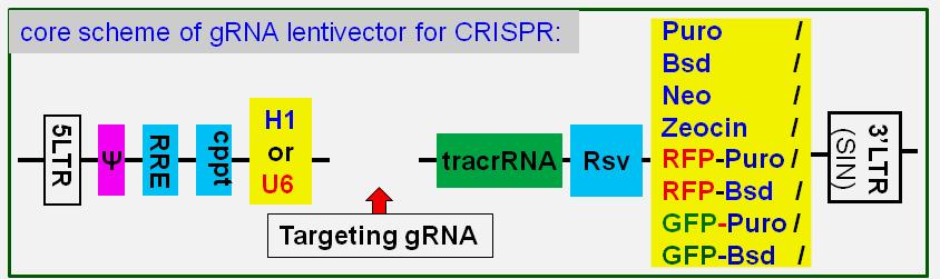 gRNA vector scheme